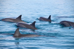 Pod-of-Spinner-dolphins-at-Moon-Reef